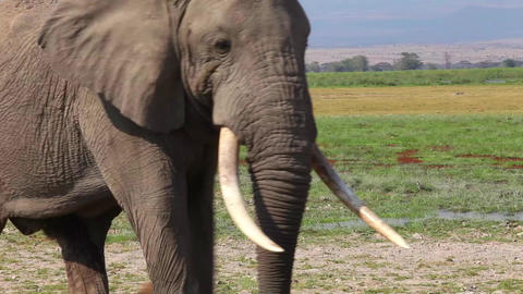 Elephant goes on savanna Footage