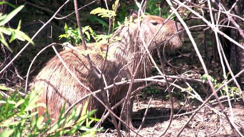 011 Pantanal , Capybara ( Hydrochoerus hydrochaeri Footage