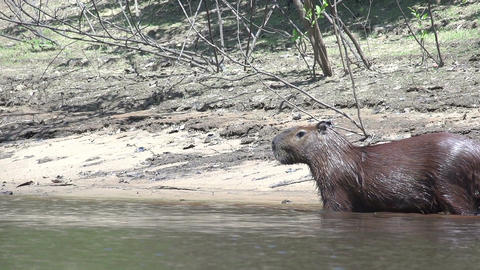 013 Pantanal , Capybara ( Hydrochoerus hydrochaeri Stock Video Footage