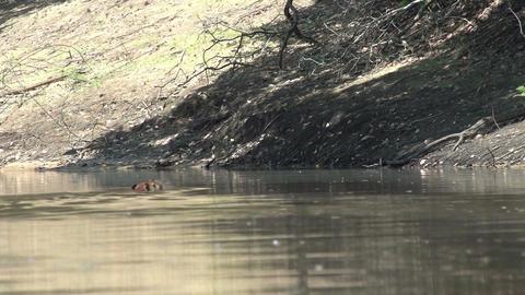 014 Pantanal , Capybara ( Hydrochoerus hydrochaeri Stock Video Footage