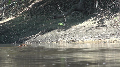 014 Pantanal , Capybara ( Hydrochoerus hydrochaeri Footage