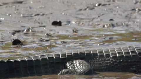 019 Pantanal , Yacare caiman swims away , close up Stock Video Footage