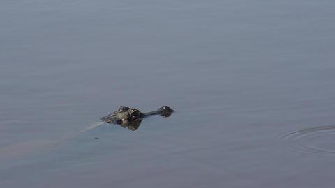 021 Pantanal , Yacare caiman , close up Stock Video Footage