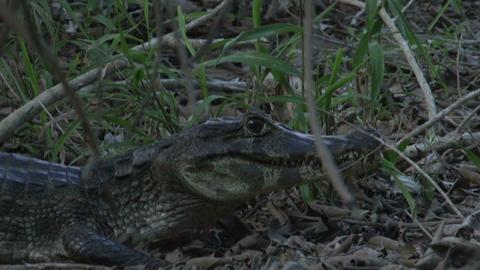 025 Pantanal , Yacare caiman , close up on the gro Footage