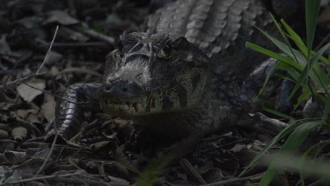 026 Pantanal , Yacare caiman , close up on the gro Footage