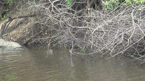 035 Pantanal , Giant otter ( Pteronura brasiliensi Footage