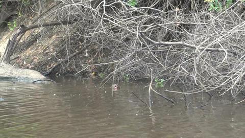 035 Pantanal , Giant otter ( Pteronura brasiliensi Stock Video Footage