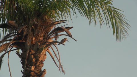 057 Pantanal , sunrise , birds in palmtree flies a Footage