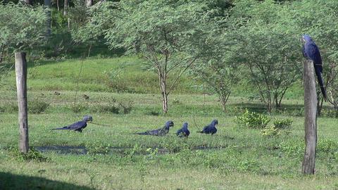 089 Pantanal , Hyacinth Macaws ( Anodorhynchus hya Footage
