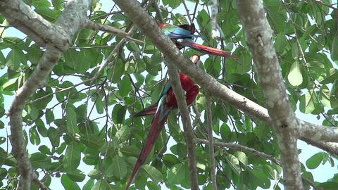 093 Pantanal , Scarlet Macaws ( Ara macao ) in tre Footage