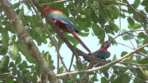 095 Pantanal , Scarlet Macaws ( Ara macao ) in tre Stock Video Footage