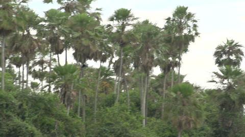 0100 Pantanal , Big bird flying in slowmotion Footage