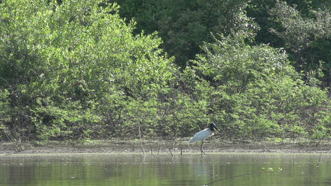 0109 Pantanal , boating on the river , bird stands Stock Video Footage