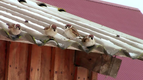 Russian Sparrows on a roof at winter Live Action