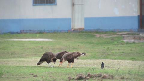 0119 Pantanal , Big birds eating in landscape Footage