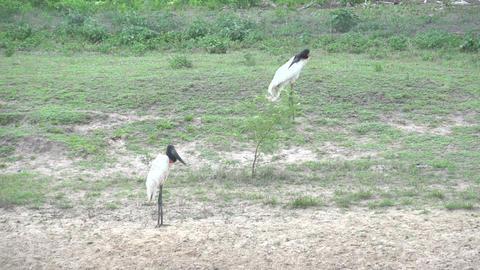 0122 Pantanal , Jabiru ( Jabiru Mycteria ) in land Footage