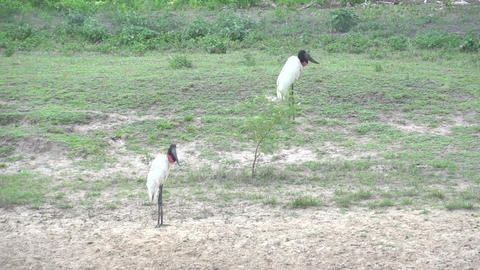 0122 Pantanal , Jabiru ( Jabiru Mycteria ) in land Stock Video Footage