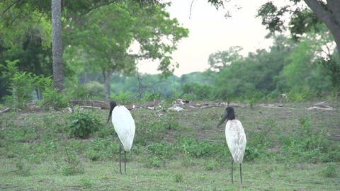 0124 Pantanal , Jabiru ( Jabiru Mycteria ) in land Stock Video Footage