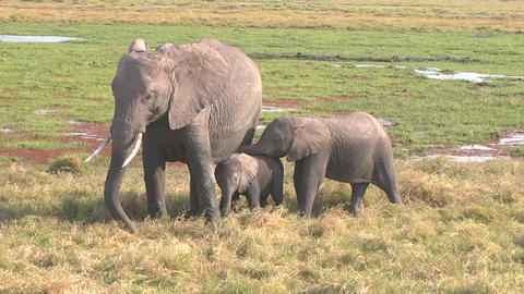 Two Baby Elephants And Mother stock footage