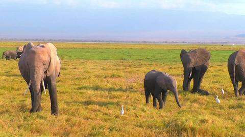 Baby Elephant In A Herd stock footage