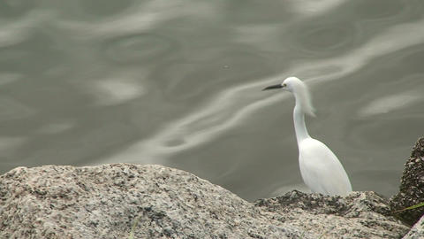 056 Florianopolis , Big white bird at sea side Footage