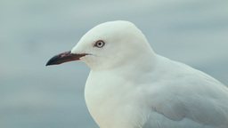 Closeup of a Perched Seagull Footage