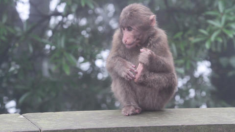 Monkey HD Stock Video Footage