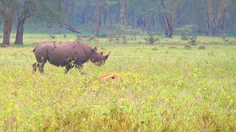 Rhinos In Africa Footage