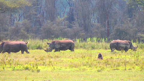 Black rhinos grazing on the field Footage