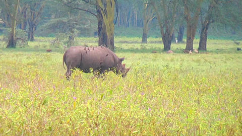 Black rhino eating grass Footage