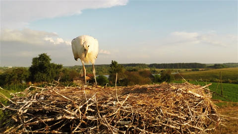 Young stork in nest Stock Video Footage