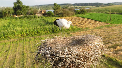 Young stork in nest Footage