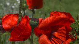 HD2008-6-9-37 poppies Stock Video Footage