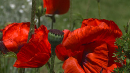 HD2008-6-9-37 Poppies stock footage