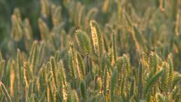 HD2008-6-9-45 wild grass evening Stock Video Footage