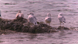HD2008-10-1-76 lakeshore seagulls Footage