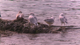 HD2008-10-1-76 lakeshore seagulls Stock Video Footage