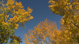 HD2008-10-1b-5 autumn trees Stock Video Footage