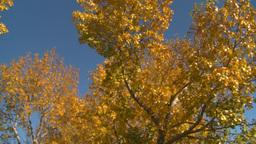 HD2008-10-1b-5 autumn trees Stock Video Footage