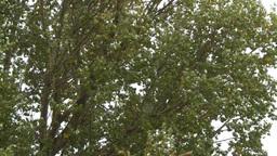 HD2008-10-1b-13 wind trees Stock Video Footage