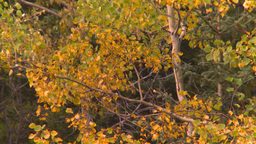HD2008-10-2-6 autumn forest Banff Z Stock Video Footage