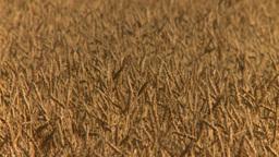 HD2008-9-2-2 wheat field Stock Video Footage