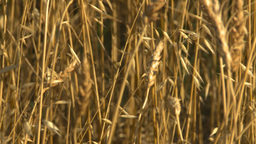 HD2008-9-2-4 wheat field Footage