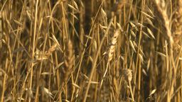HD2008-9-2-4 wheat field Stock Video Footage