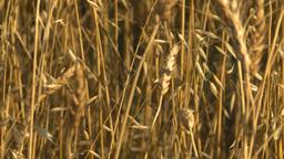 HD2008-9-2-4 wheat field Stock Video Footage
