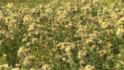 HD2008-9-3-15 thistle weeds Stock Video Footage
