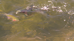 HD2008-9-3-61 trout feeding Stock Video Footage