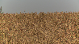 HD2008-9-3-69 ripe wheat Stock Video Footage