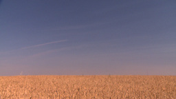 HD2008-9-3-71 ripe wheat Stock Video Footage