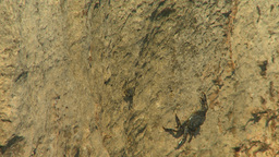 HD2009-4-6-14 Cuba beach crabs on rocks Stock Video Footage